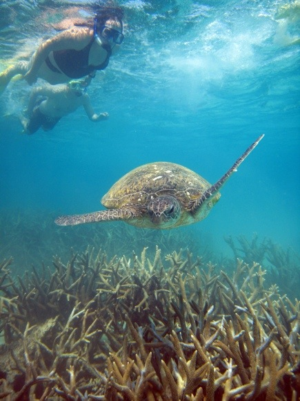 A turtle from the Great Barrier Reef